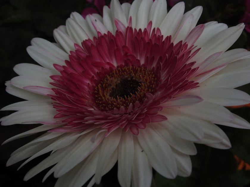 pinkcurtain