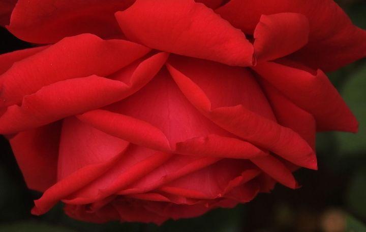 rosehug