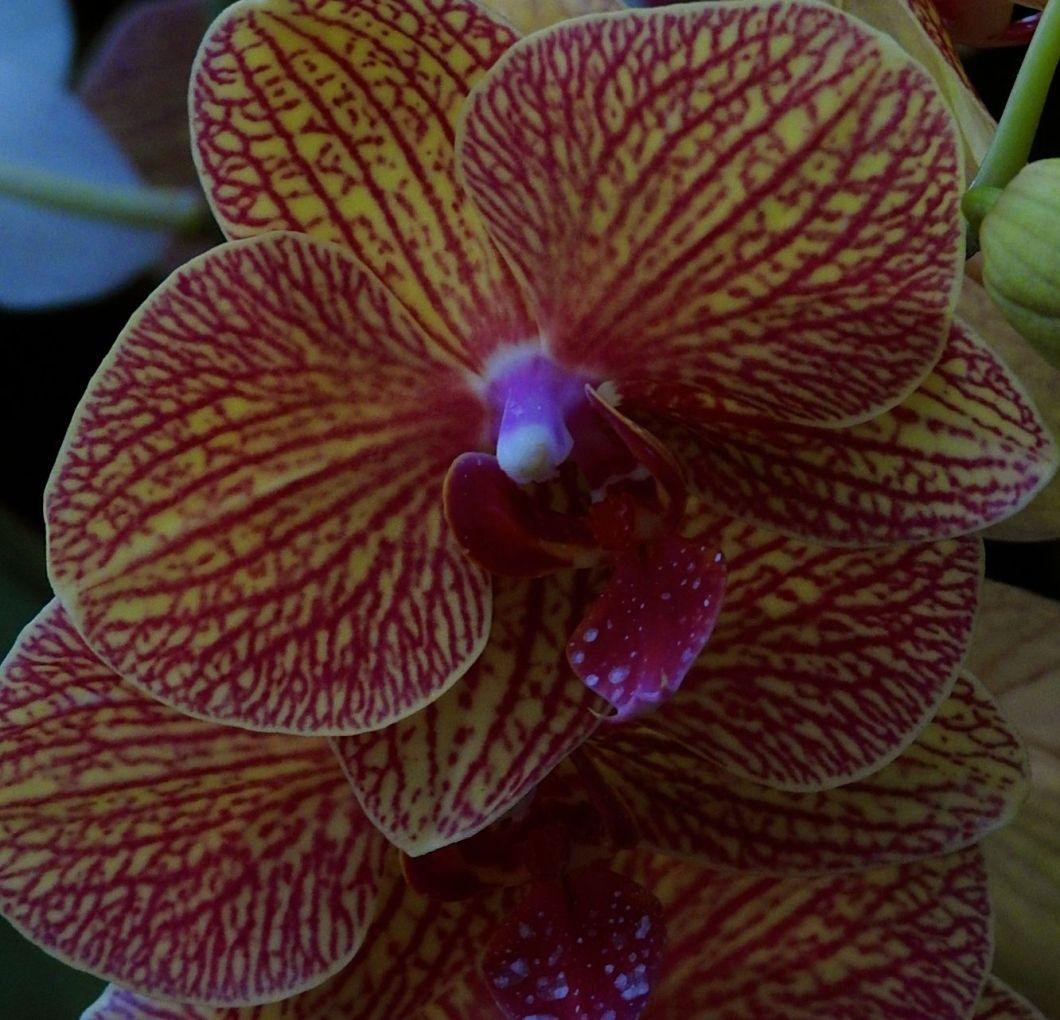 magicorchid