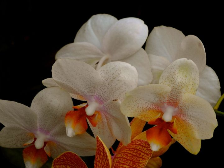 orchiddance