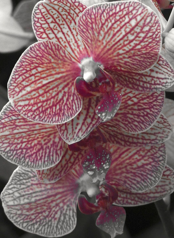 orchidelegance