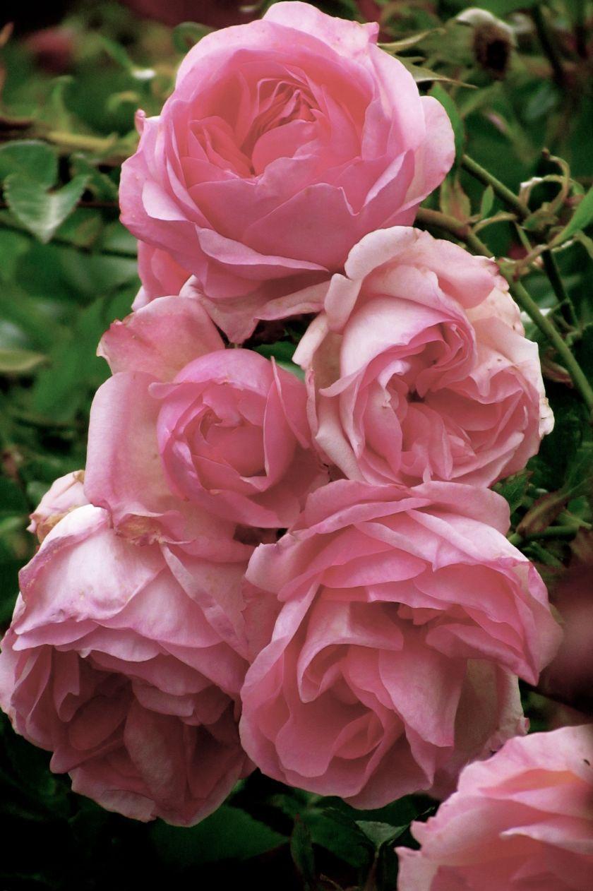 pinkmorn.jpg