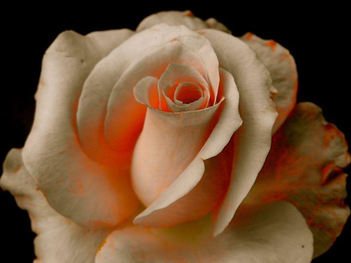 rosepudd