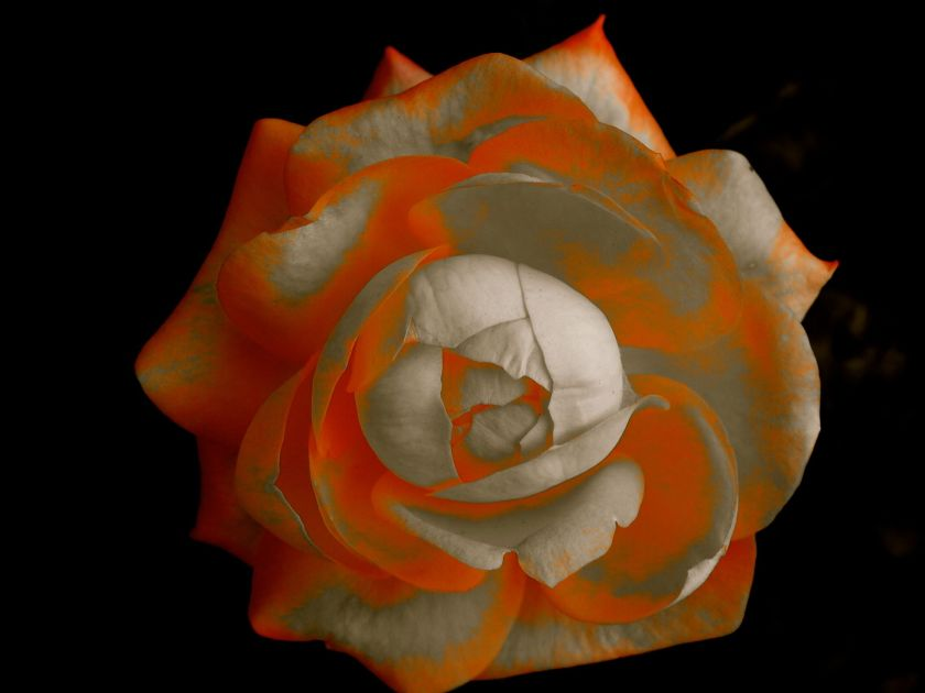 rosepudding