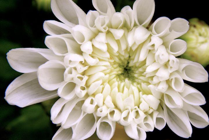 whiteruffle.jpg
