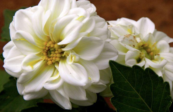 whiteruffle1