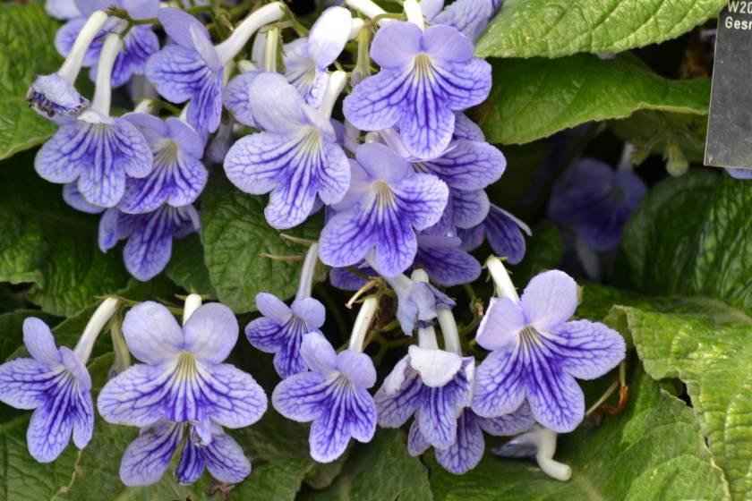 blueviolets