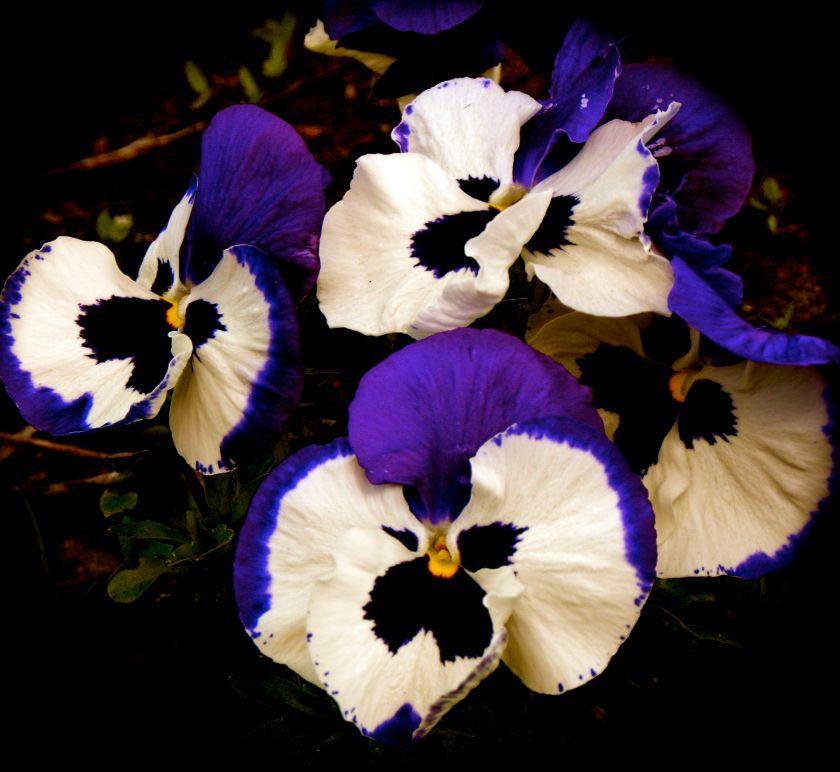 bluviolets.jpg