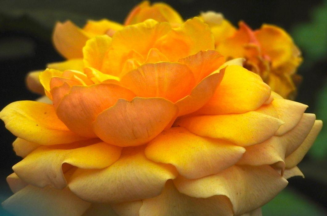goldburnish