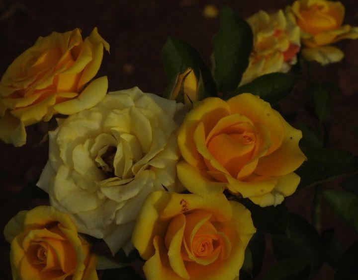 rosewedding