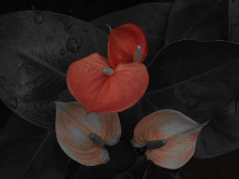 threesomeanthurium