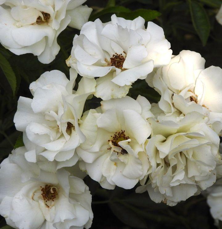 whitekerchief