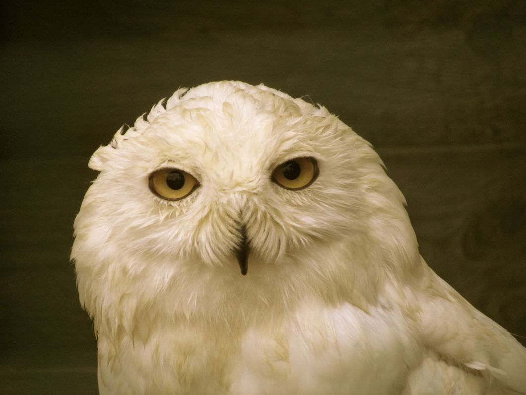 whiteowl.jpg