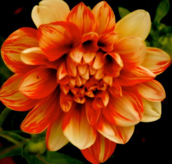 lovelydahlia
