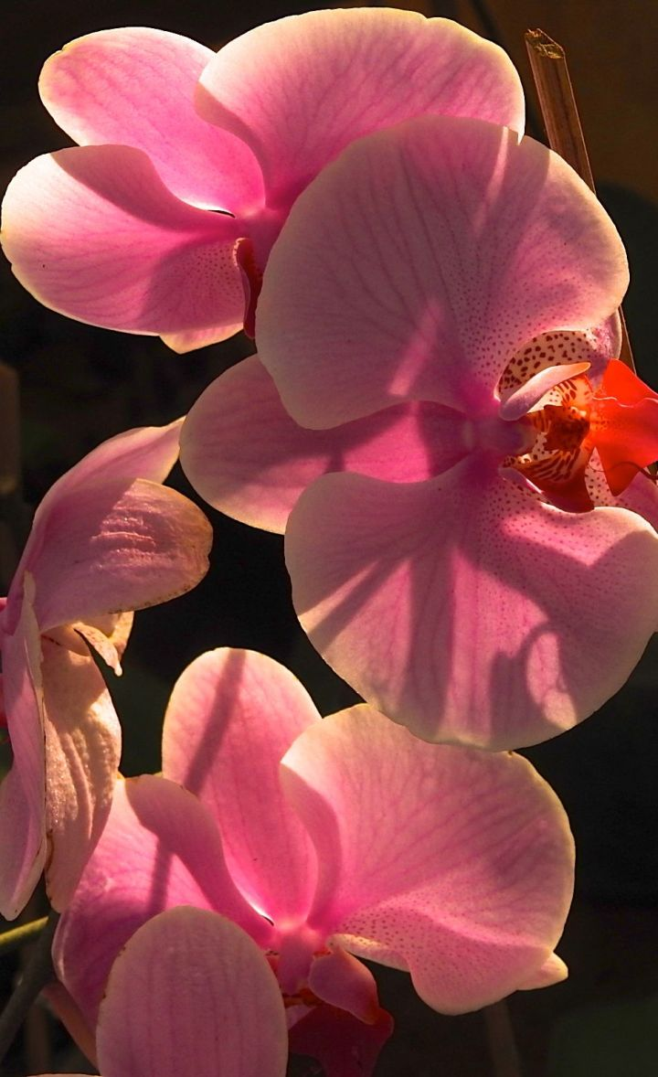 orchidfor