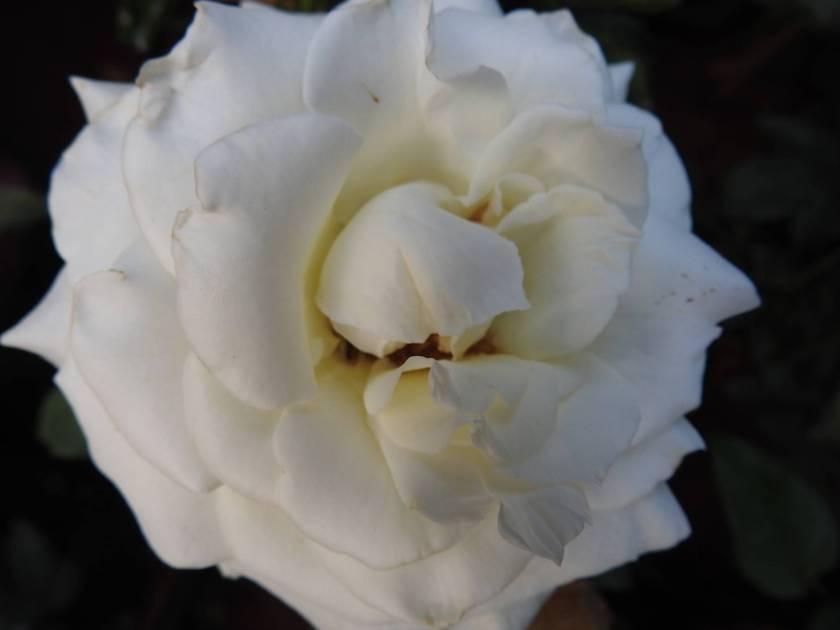 whitecuddle1