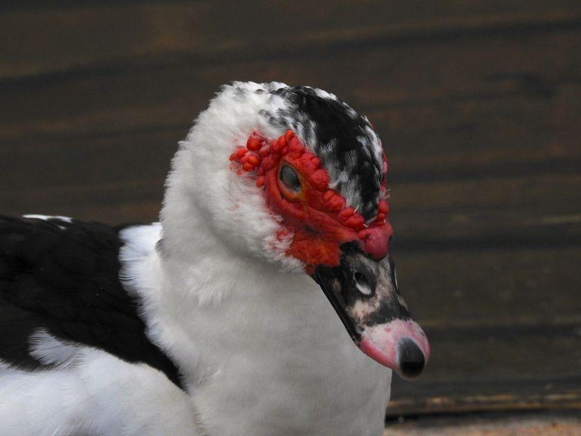 duckswell