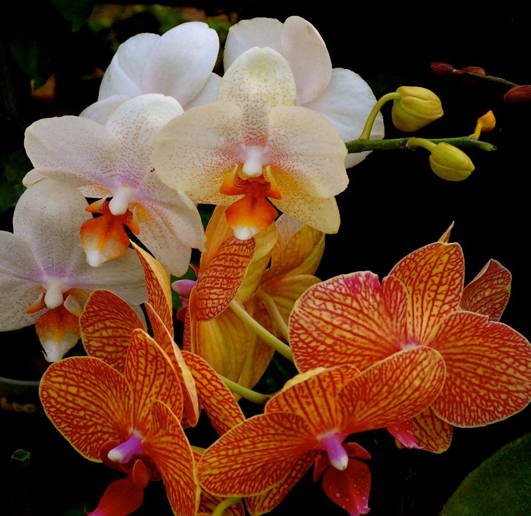 jewelorchid