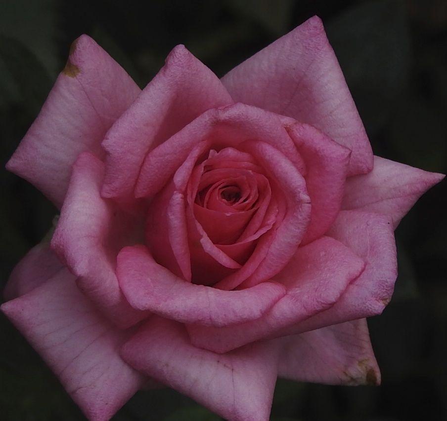 pinkdreamer
