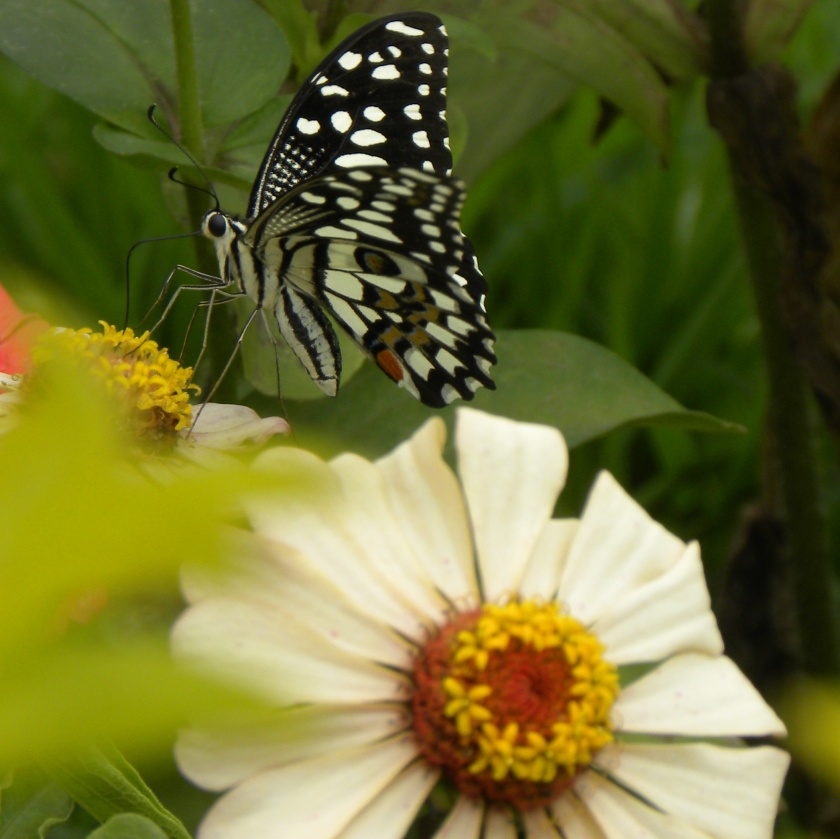 whitebutterflies 339