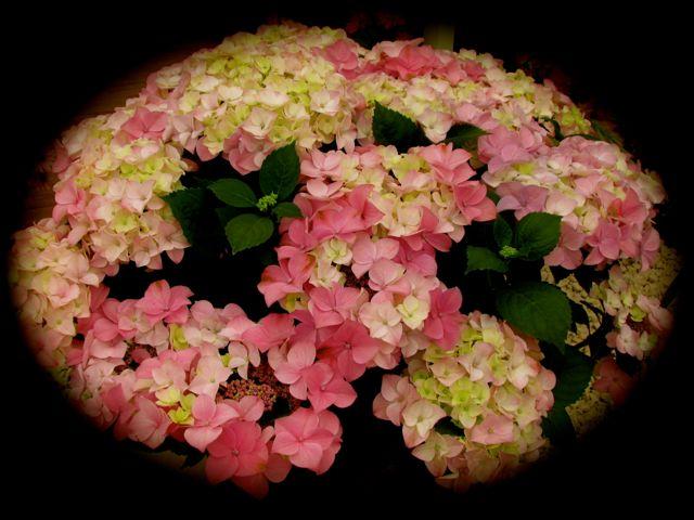 geraniumbowl