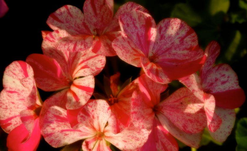 geraniumremedy