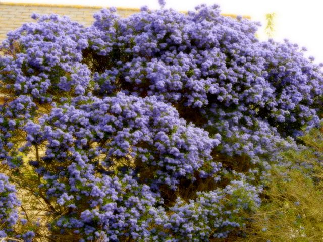 lavenderwall