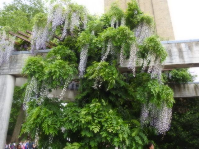 wisteriacool