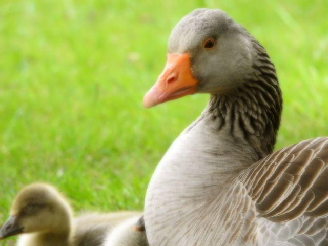 duckkew