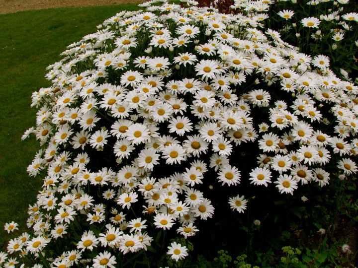 den of daisies