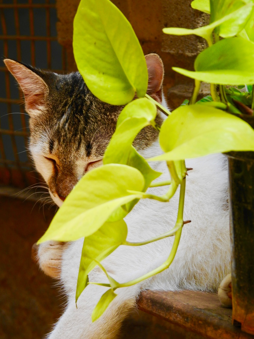 Cat Gardening Chronicles 36 Hibiscus Leaves And Diabetes Canny