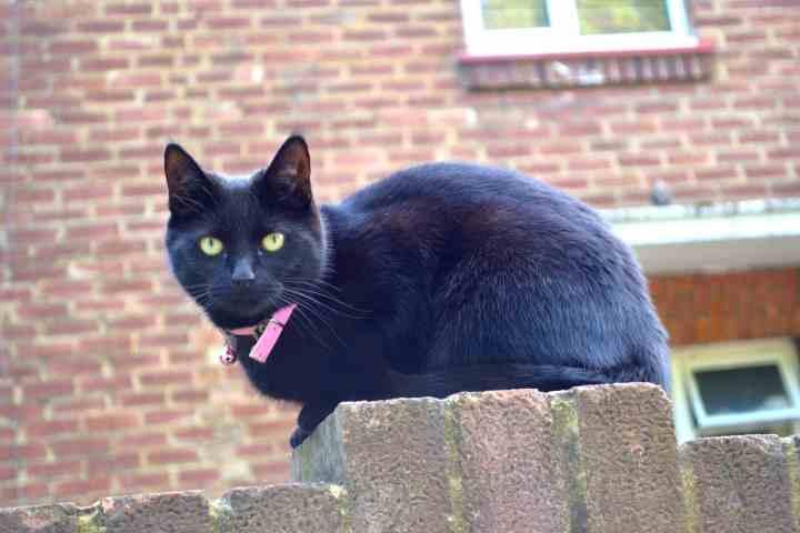 Ham cat